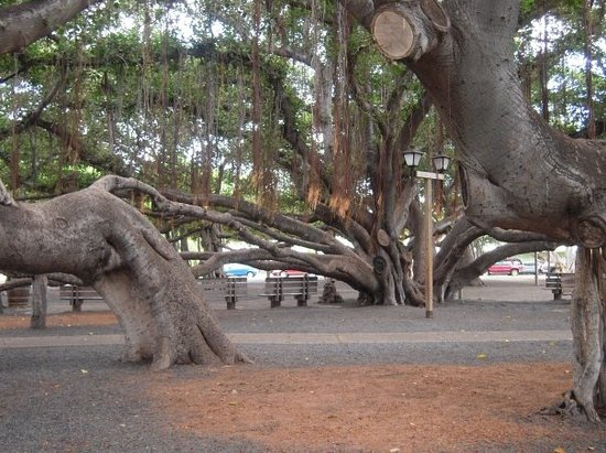 Lahaina, Hawái: Worlds biggest banyon tree