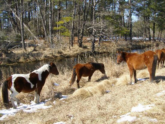 ‪‪Waterside Inn‬: Close encounter with Chincoteaque Ponies‬
