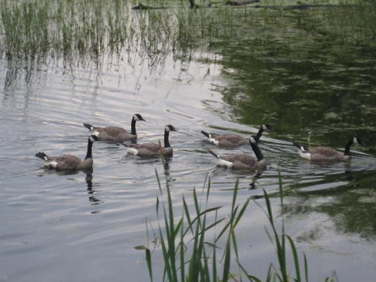 Comfort Inn & Suites: Ducks on Shuswap Lake