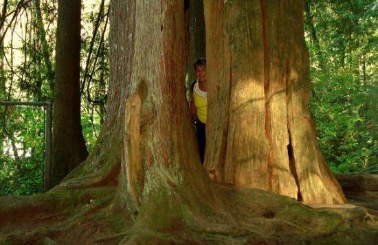 Nord-Vancouver, Canada: Connie , hiding in a huge tree!