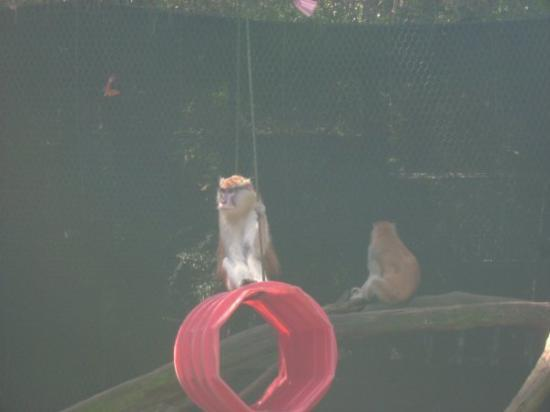 Tallahassee, FL: Patas monkey from Africa