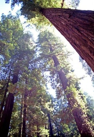 Ukiah, Καλιφόρνια: The California Redwood Forest.  Where I was born.  or there abouts!