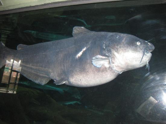 Whoa biggest fish ive ever seen picture of national for Mississippi river fish