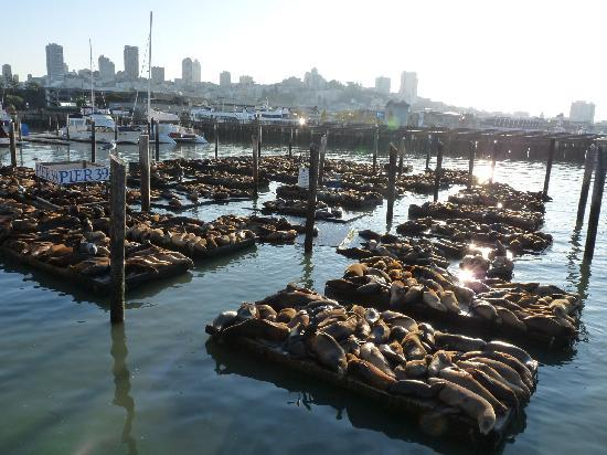 San Francisco, CA: Sealions at Pier 39