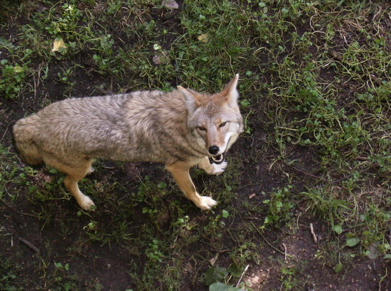Green Bay, WI: Red Wolf