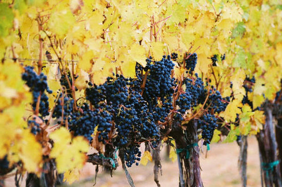 Walla Walla, Etat de Washington : Dripping with Grapes, just before harvest
