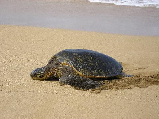 Hale Mahina Beach Resort: Green Sea Turtle, coming up for a rest