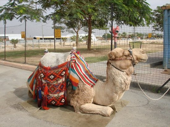 Jericho : Couldn't resist the look on this camel's face near Bet Alfa