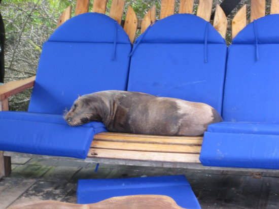 Red Mangrove Aventura Lodge: resident sea lion on deck of Adventura Lodge