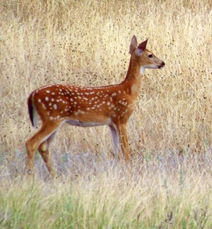 Glen Rose, TX: Dinosaur Valley Fawn, Texas.  Tammy took this pic!!!  Nice going!!!