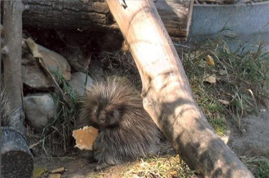 Bismarck, Dakota del Norte: baby porcupine at the zoo