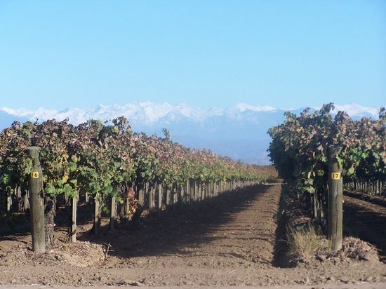 Bakersfield, : Grape Orchards as far as the eye can see