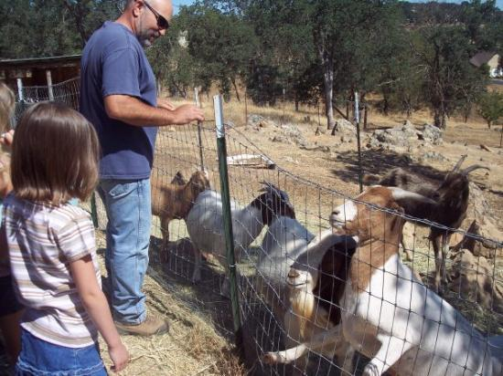 Valley Springs, CA: feeding the neighbors goats.