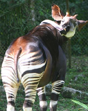 Africa: watch this space for my video of Okapi