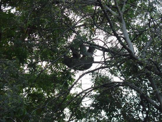 A Sloth in a tree in Manta