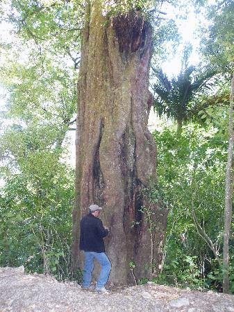 Nelson, Nowa Zelandia: Dazza, our guide, showing us an 1800 year old male Matai tree in the virgin forest at Happy Vall