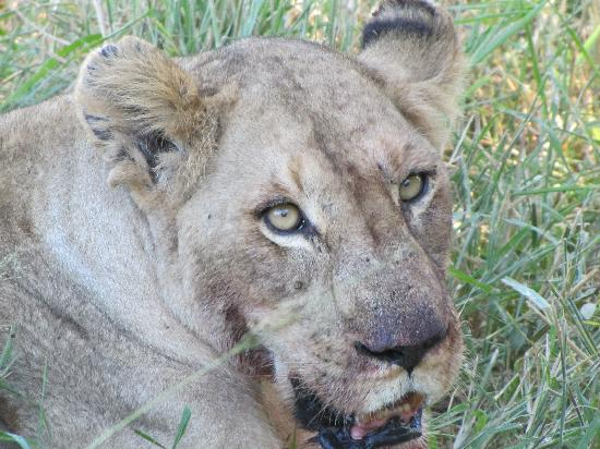 Djuma Bush Lodge: Lion