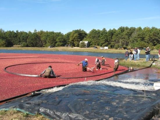 Wareham, MA: way cool cranberry havesting