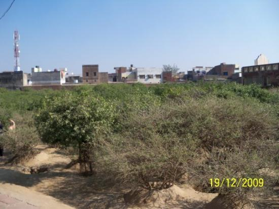 Vrindavan, India: Ban Tulsi...Different variety from the one we plant at home. Pandit Haridas the guru of Tansen a