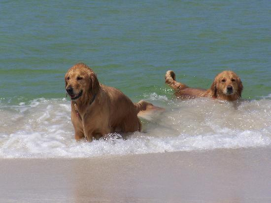 Cape San Blas, FL: Our goldens swimming in the Gulf at Barrier Dunes
