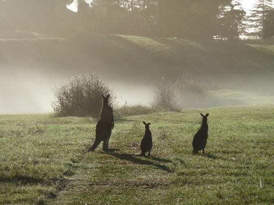 Briars Country Lodge & Inn: Kangaroos in the morning