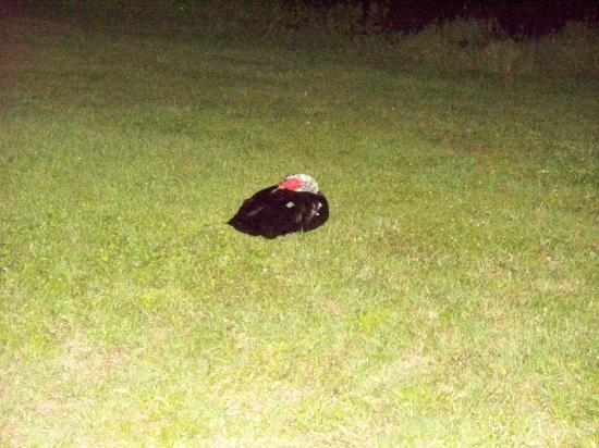 Travelodge Deltona: A duck curled up sleeping in the back yard
