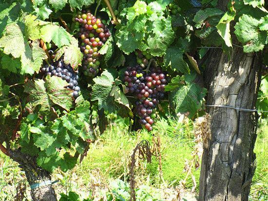 Barbera grapes, near Asti, Piemonte, Italy, 2009