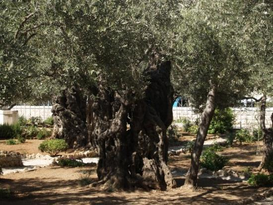 Photos of Garden of Gethsemane, Jerusalem - Attraction Images ...