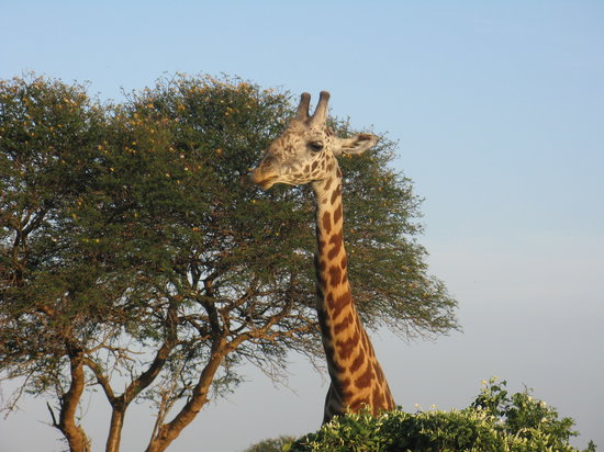 : giraff