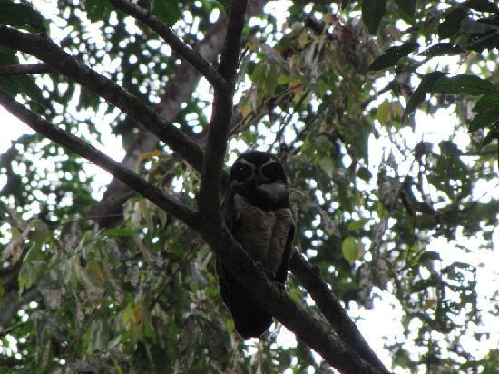 Villas de las Aves: Spectacled Owl
