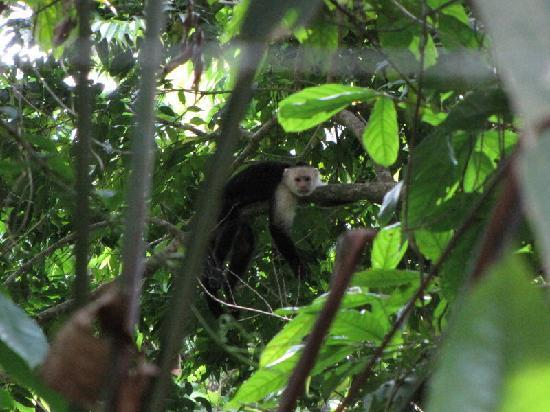 Villas de las Aves: White Faced Monkey