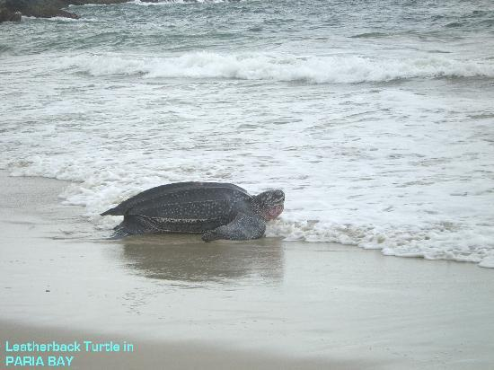 Trinidad en Tobago: Leatherback turtle at Paria Bay.