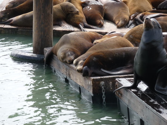 San Francisco, Californi: Sea lions at Pier 39.
