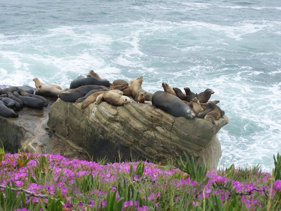 La Jolla, Californie : Sea Lions