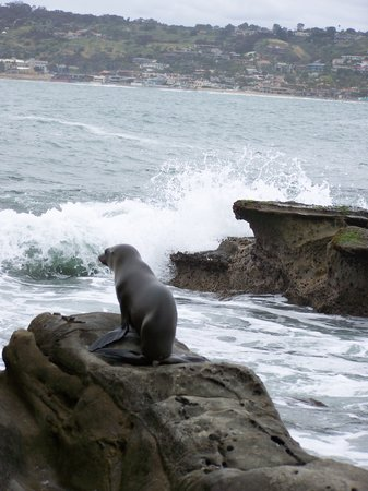 La Jolla, Californie : Looking for mom