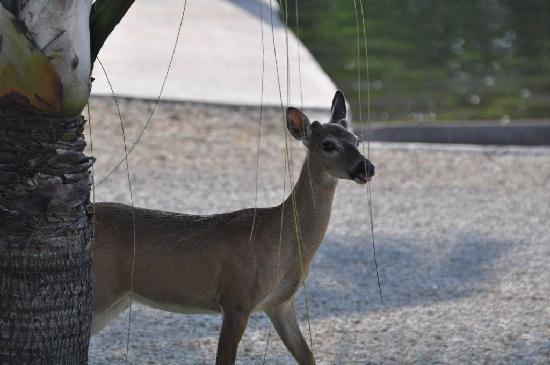 Parmer's Resort: Up close to a Key Deer