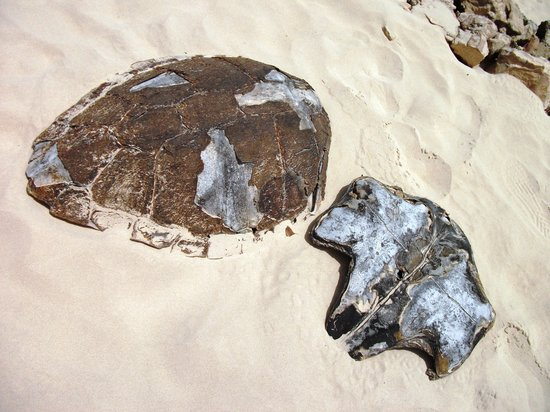 Boa Vista, Kap Verde: Turtle shell in Santa Maria Beach