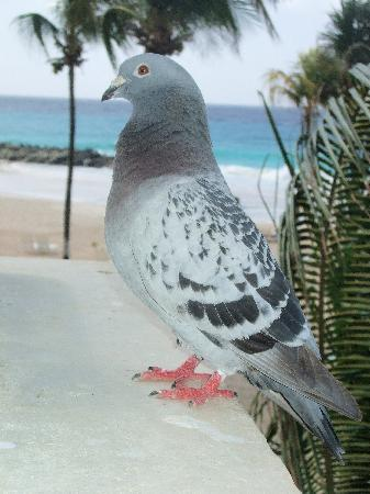 Saint Michael Parish, Barbados: Angela, the resident bird at the Terrace. Watch your food!  They are sneaky.