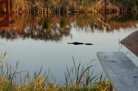 Gulf State Park: Mr. Alligator at our campsite.
