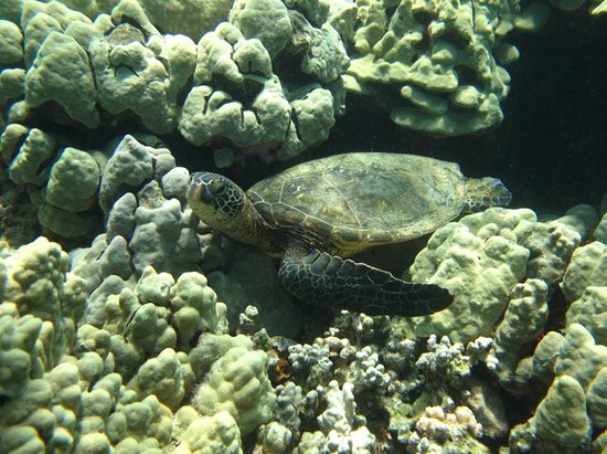 Kohala Coast, HI: Sea Turtle