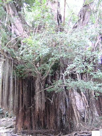 Siquijor Island, Philippines: the island's oldest tree - a banyan tree age: approximately 4 centuries