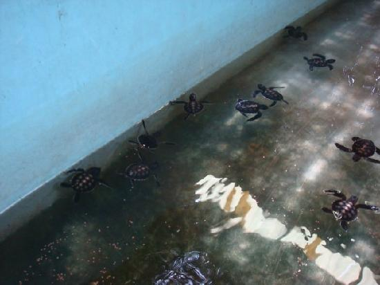 Baby Turtles in a Tank Turtle Island Tour Baby