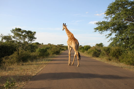 Nelspruit, South Africa: Giraffe