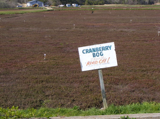 West Yarmouth, MA : Cranberry bog