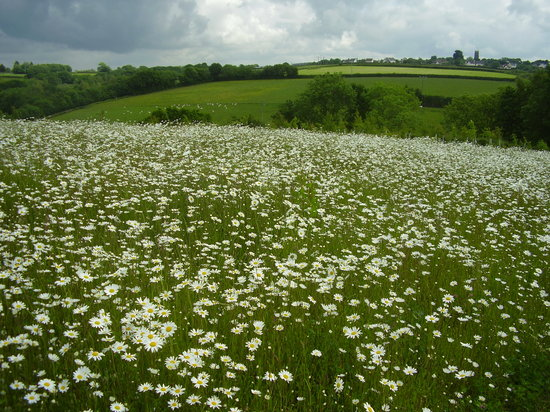 Umberleigh, UK: The Daisy Field