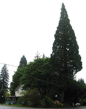 Prospect Historic Hotel - Motel and Dinner House: Giant redwood. Note lady next to tree