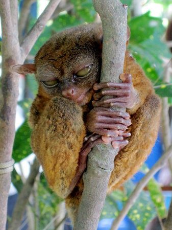 Bohol National Museum: Tarsier