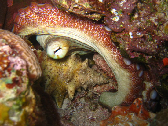 Providenciales: Octopus with conch