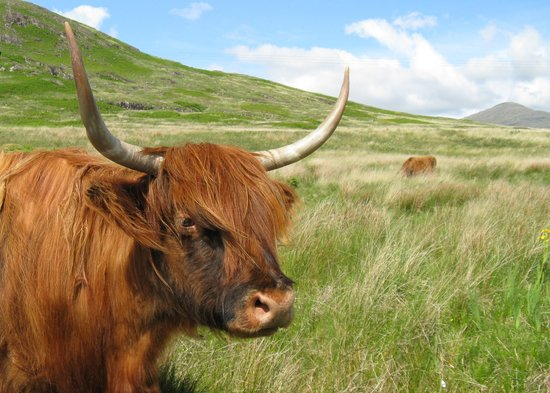 Isle of Mull, UK: Highland cattle