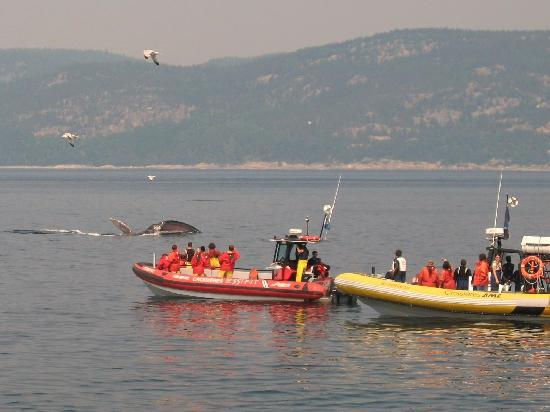 Dufour cruise whale watching of fin whale june 18 2010 for Auberge maison hovington